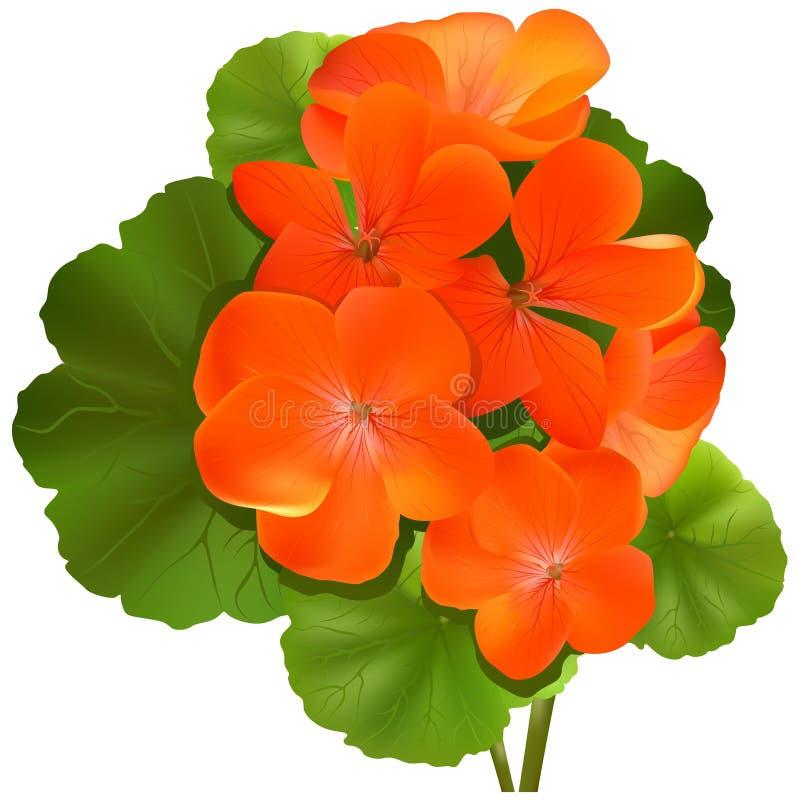 Flor do Pelargonium (gerânio) ilustração royalty free