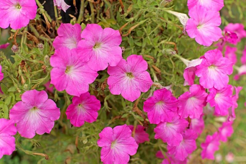 Download Flor do petúnia foto de stock. Imagem de folha, fundo - 65579950