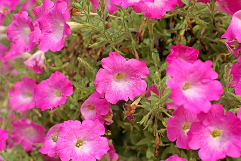 Download Flor do petúnia foto de stock. Imagem de florescer, filial - 65579968