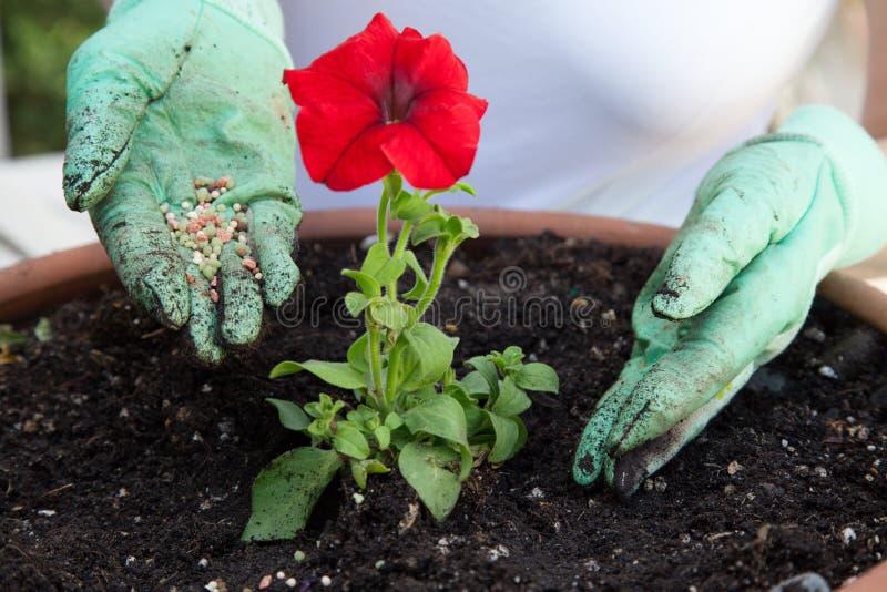 Flor do petúnia da fertilização fotos de stock