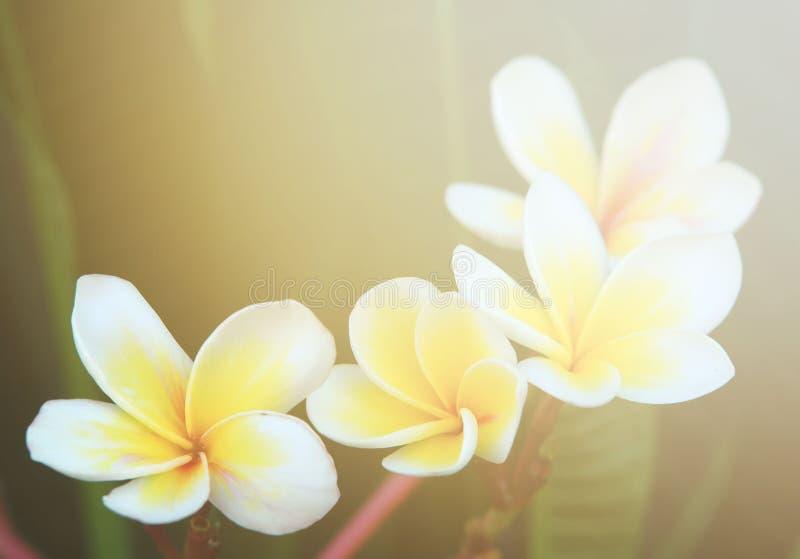 Flor do Plumeria fotos de stock