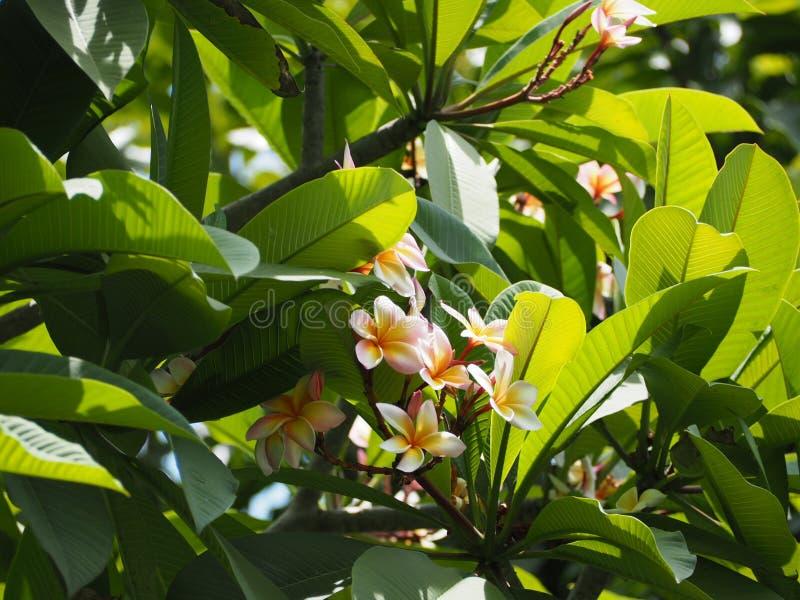 Flor do Plumeria de Tail?ndia foto de stock royalty free