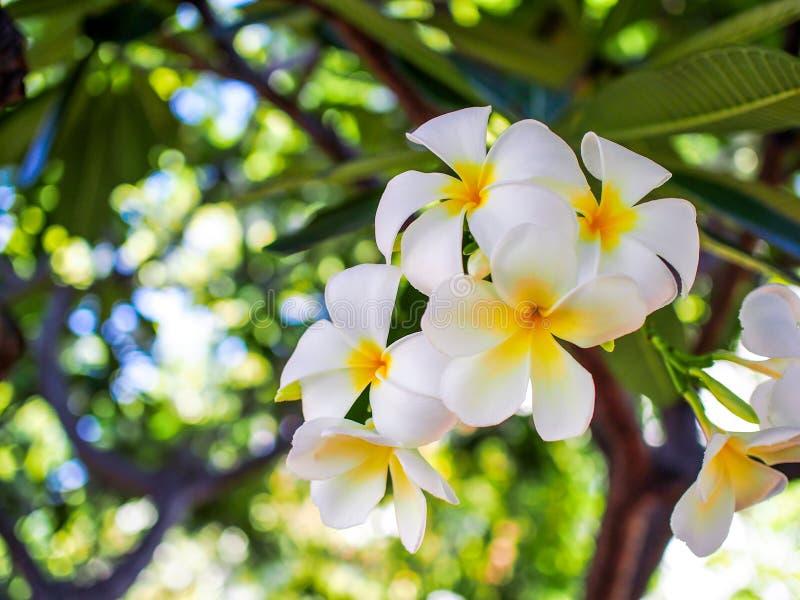 Flor do Plumeria em um brance da árvore fotografia de stock