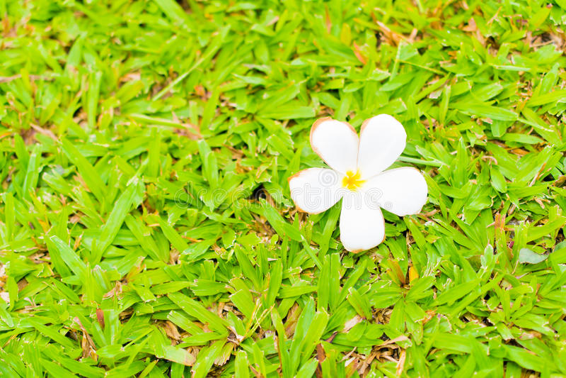 Flor do Plumeria no campo de grama imagem de stock royalty free