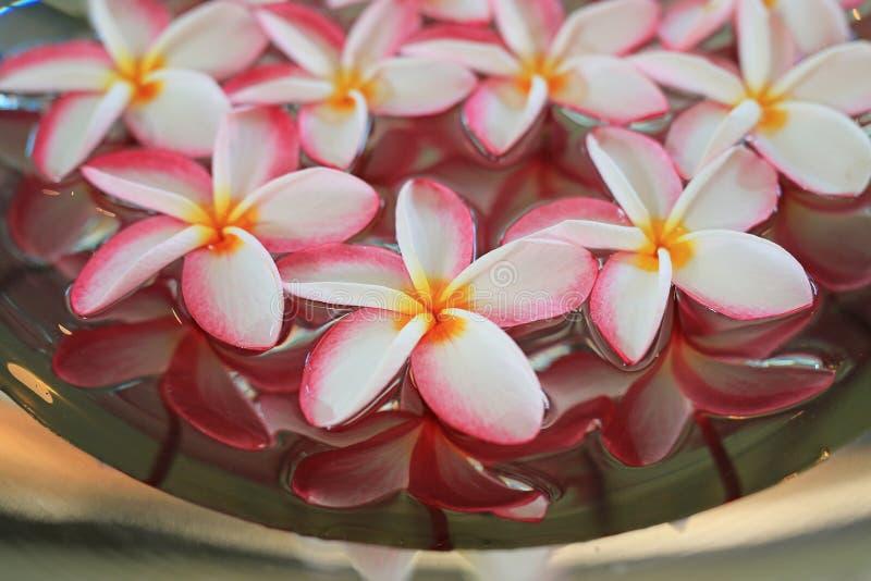 Flor do Plumeria ou do Frangipani que flutua na água na bandeja de alumínio Conceito dos termas de flores de florescência imagens de stock