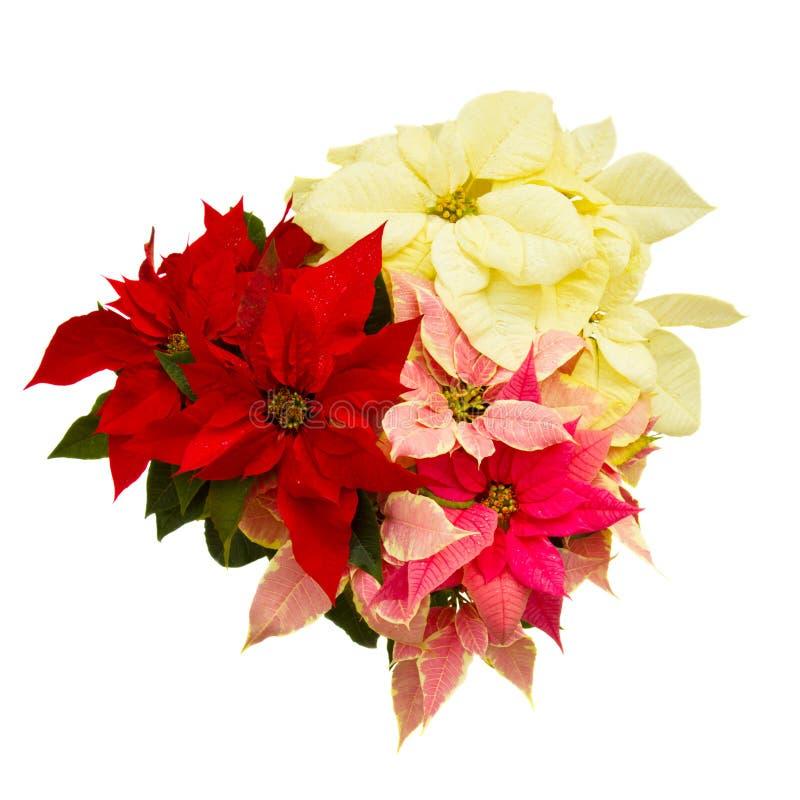 Flor do Poinsettia - estrela do Natal fotografia de stock royalty free