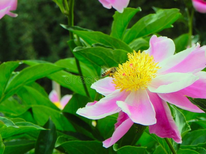 Flor do polinate da abelha no jardim zoológico Köln imagem de stock royalty free