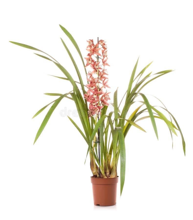 Flor do potenciômetro do cymbidium das orquídeas imagens de stock royalty free