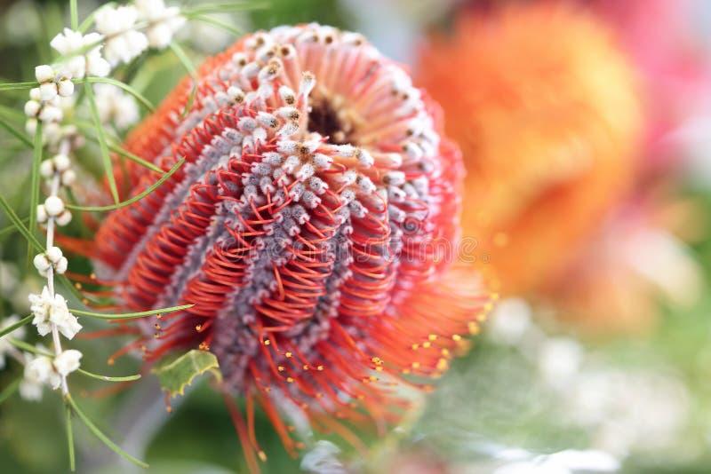 Flor do Protea fotografia de stock
