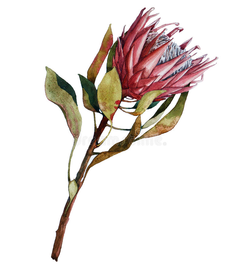 Flor do Protea