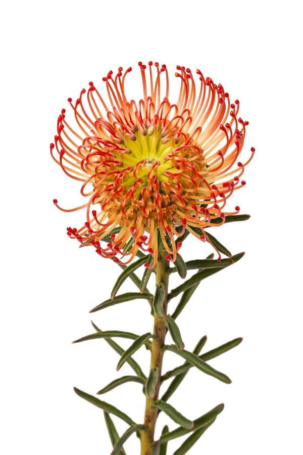 Flor do Protea da almofada de alfinetes imagem de stock