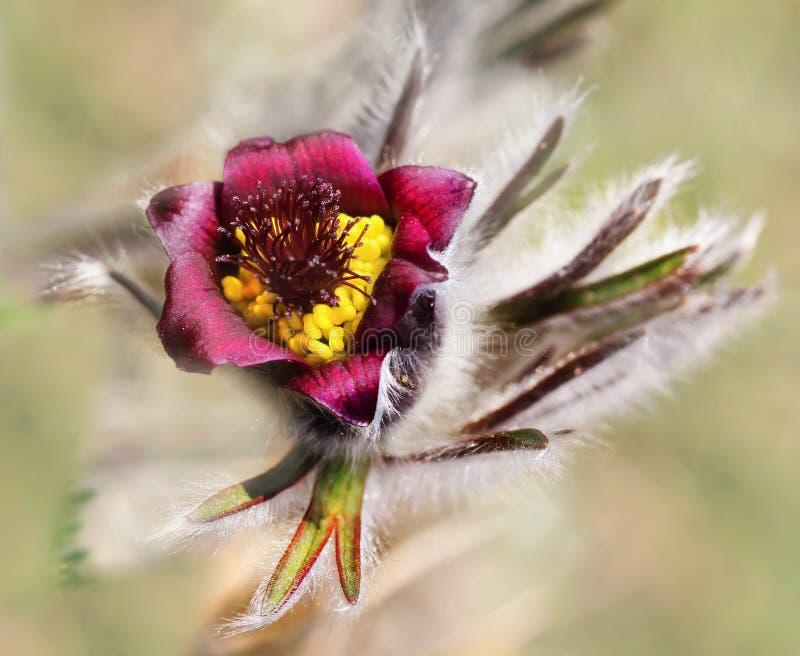 Flor do Pulsatilla imagem de stock