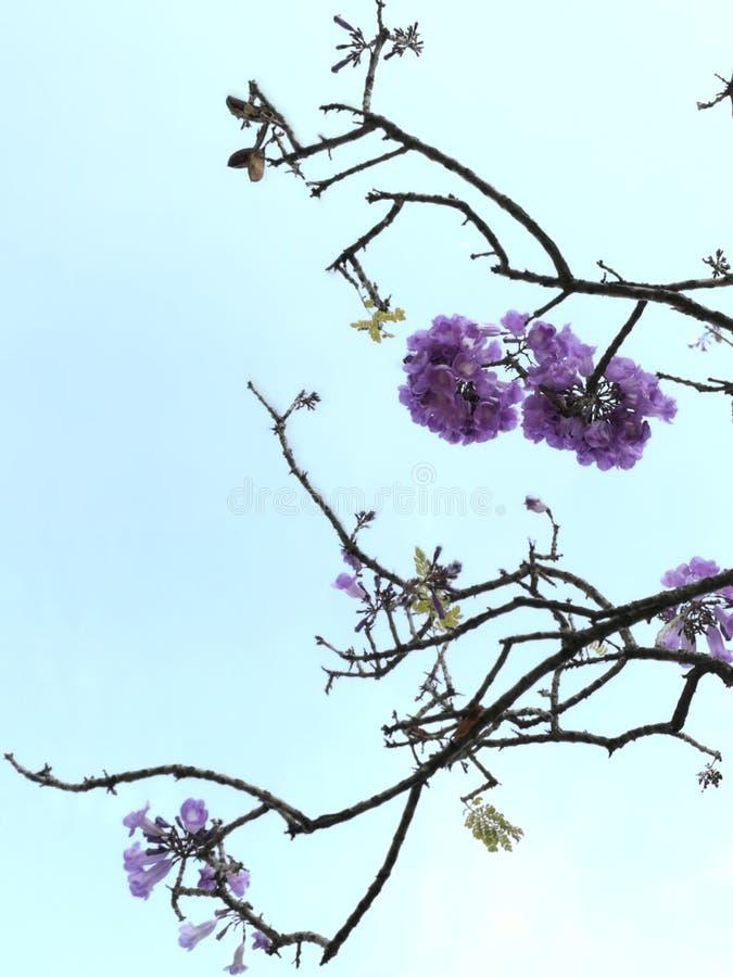 Flor do purp do duende fotografia de stock royalty free