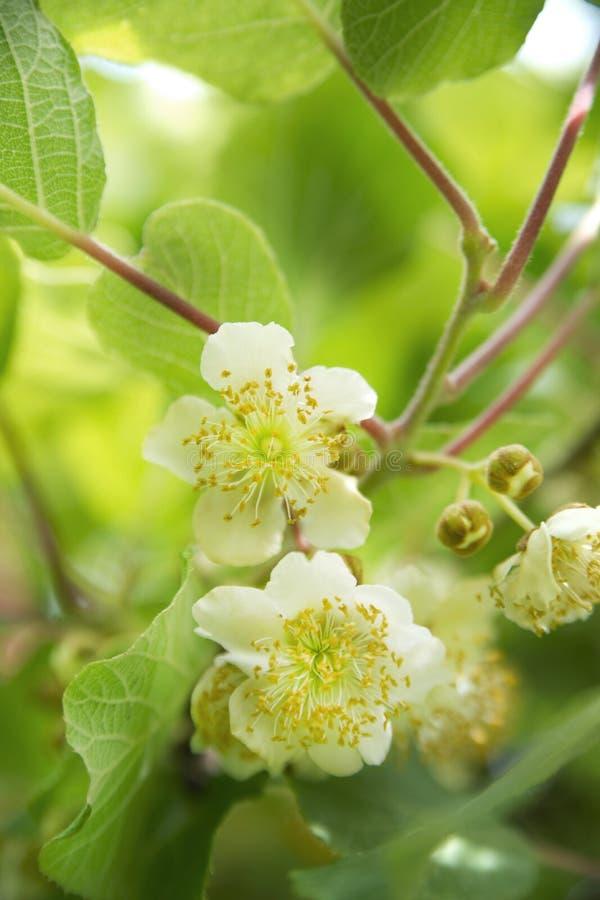 A flor do quivi fotografia de stock royalty free