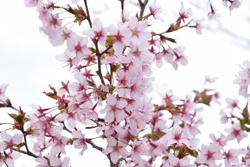 Flor do ramo de árvore da cereja foto de stock