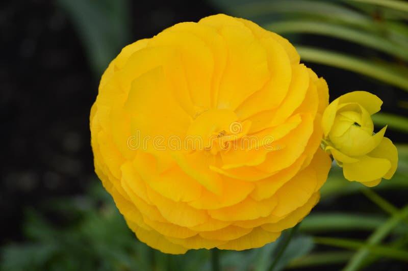 Flor do ranúnculo imagens de stock royalty free