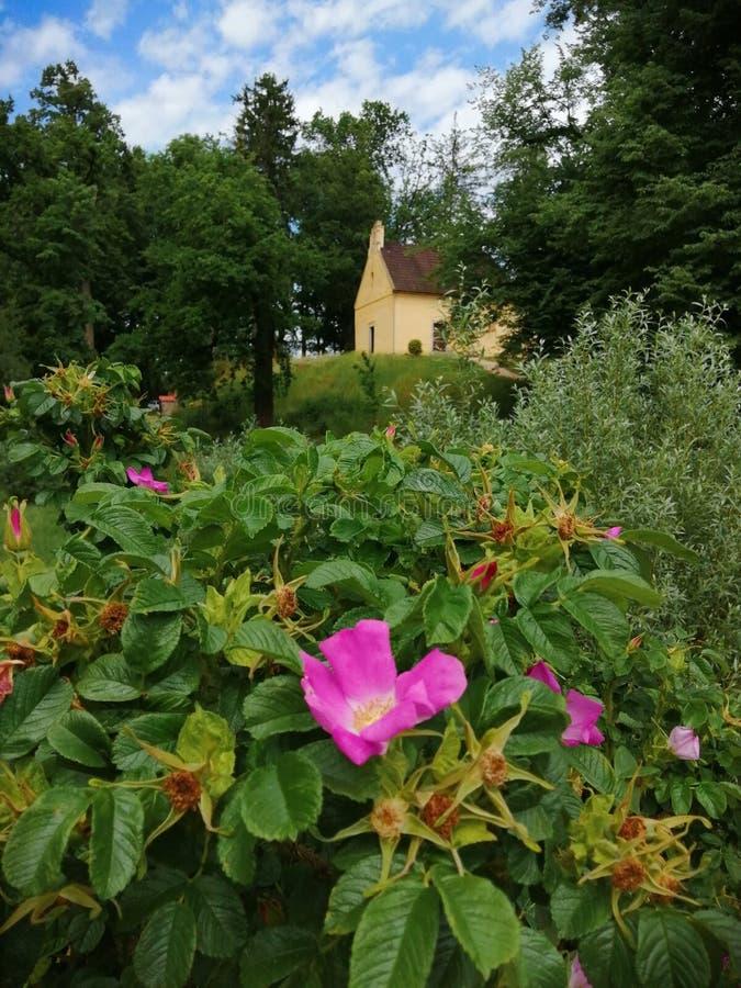 Flor do rosa da república checa no jardim do castelo fotos de stock