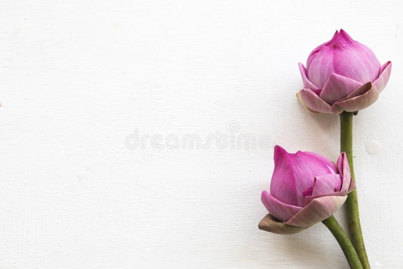 Flor do rosa de Lotus local do arranjo de Ásia no branco imagem de stock royalty free