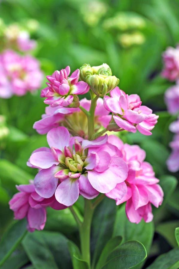 Flor do rosa do bolo quente foto de stock