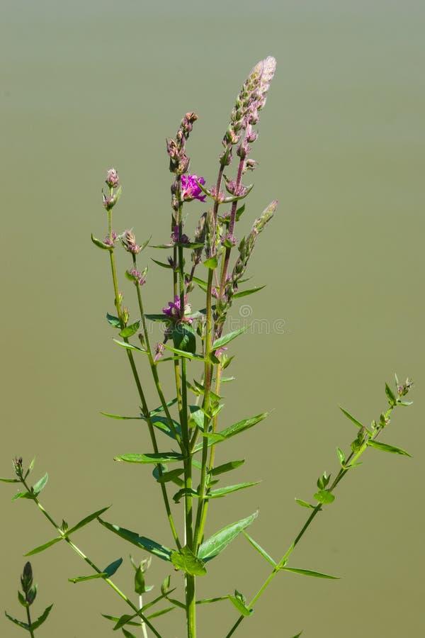 Flor do salicaria do Loosestrife roxo ou do Lythrum sobre o close-up da água, foco seletivo, DOF raso fotografia de stock royalty free