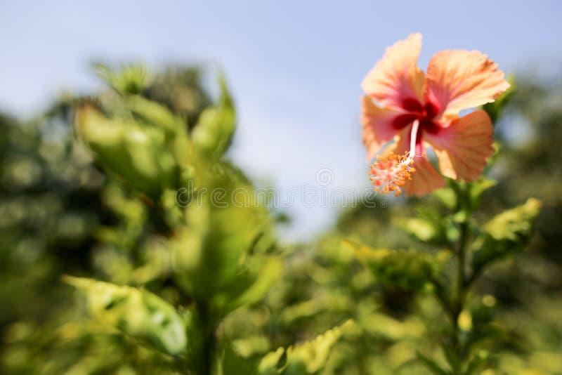 Flor do sinensis do hibiscus no rosa vermelho vívido a flor nacional de Malásia imagem de stock
