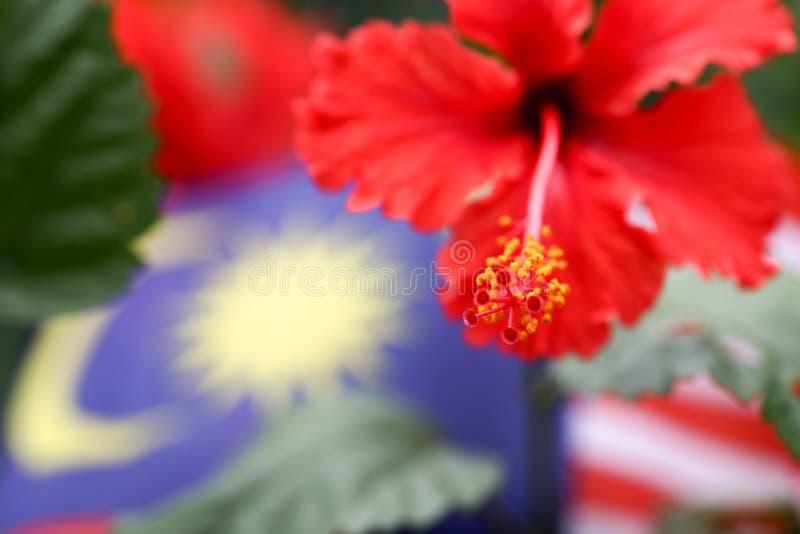 Flor do sinensis do hibiscus no rosa vermelho vívido a flor nacional de Malásia fotos de stock