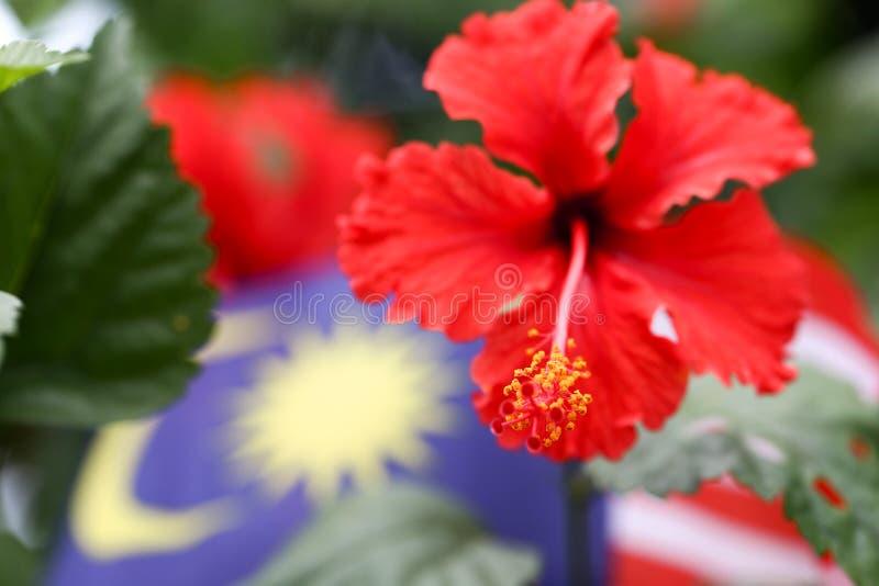 Flor do sinensis do hibiscus no rosa vermelho vívido a flor nacional de Malásia foto de stock