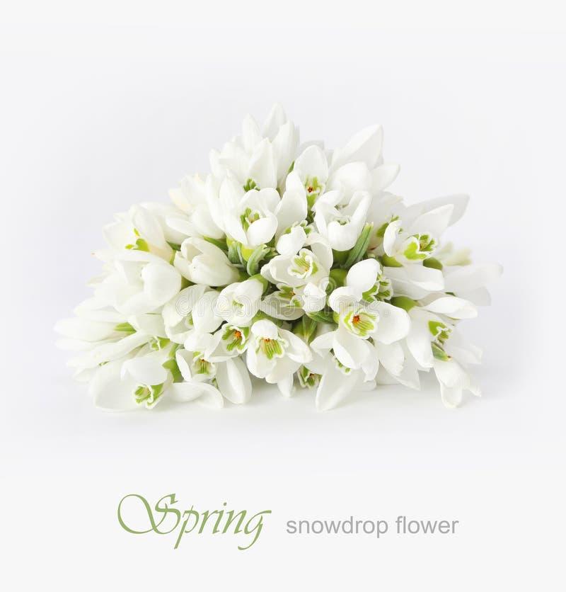 Flor do snowdrop da mola imagem de stock royalty free