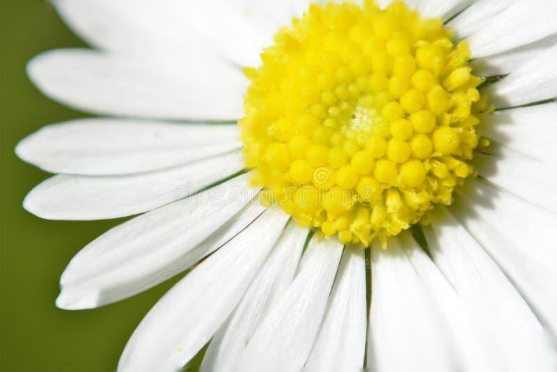 Flor do sol da margarida fotos de stock royalty free