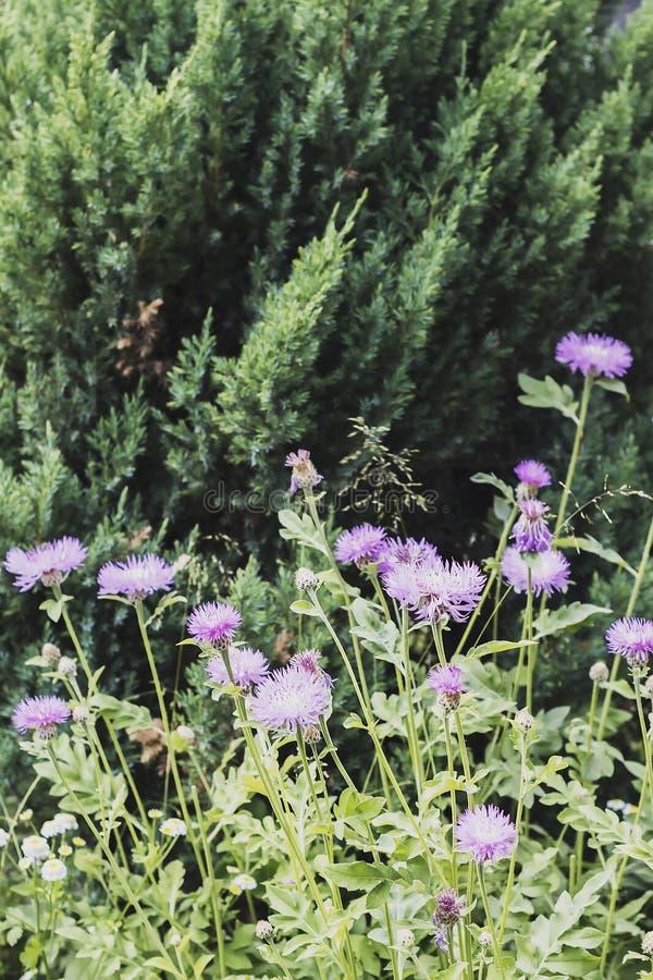 A flor do solstício de verão somente na noite imagem de stock royalty free