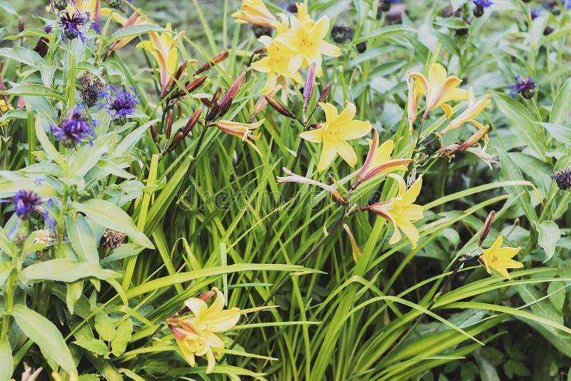 A flor do solstício de verão somente na noite fotografia de stock