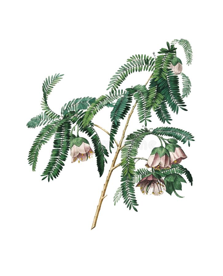Flor do tamarindo | Ilustrações antigas da flor ilustração stock