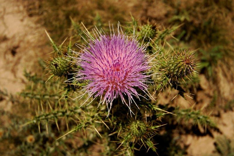 Flor do Thistle em New mexico fotografia de stock