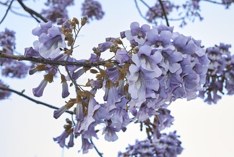 Flor do tomentosa do Paulownia fotos de stock royalty free
