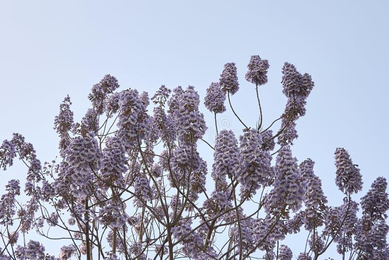 Flor do tomentosa do Paulownia foto de stock