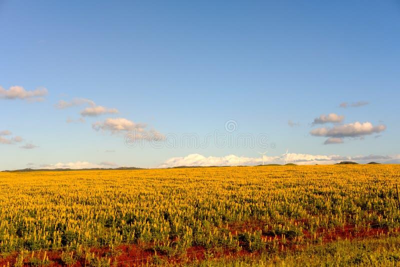 Flor do tremoceiro foto de stock