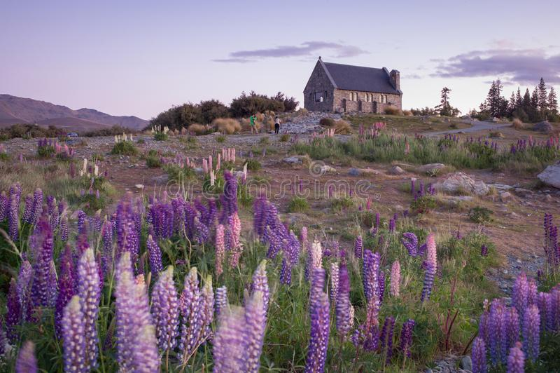 Flor do tremoceiro e capela dos pastores pelo lago Tekapo, Nova Zelândia imagem de stock