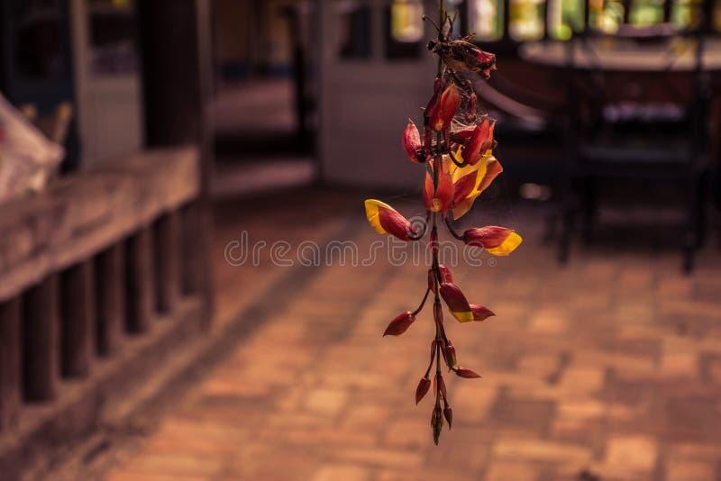 Flor do trumpetvine de Mysore com um fundo unfocused imagens de stock royalty free