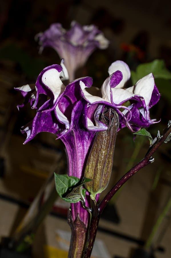 Flor do trunfo do metel do estramônio imagens de stock