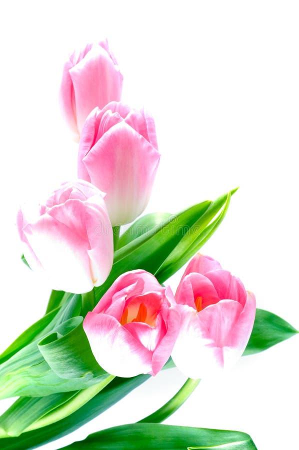 Flor do Tulip fotos de stock
