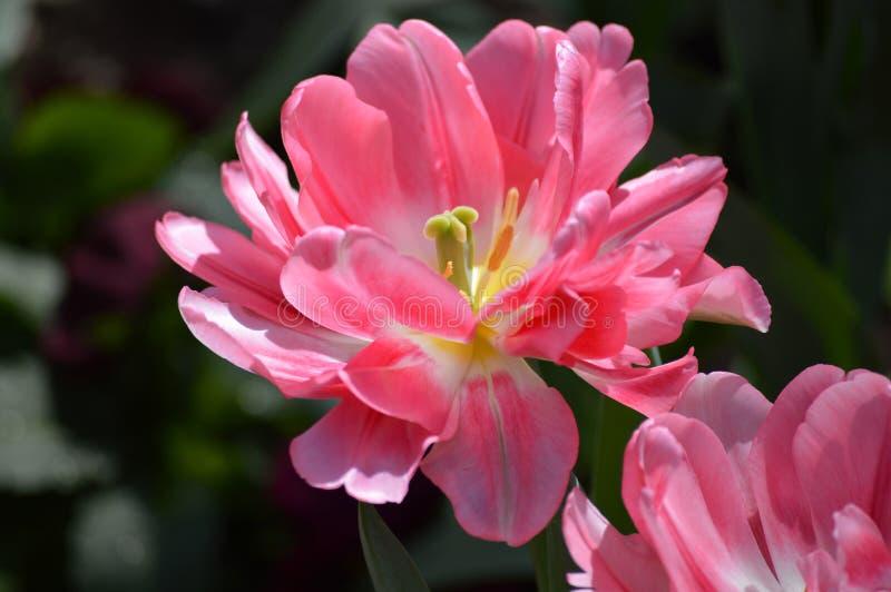 Flor do Tulip imagens de stock royalty free