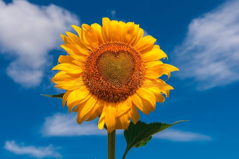 Flor do verão do girassol com close-up do coração fotografia de stock royalty free
