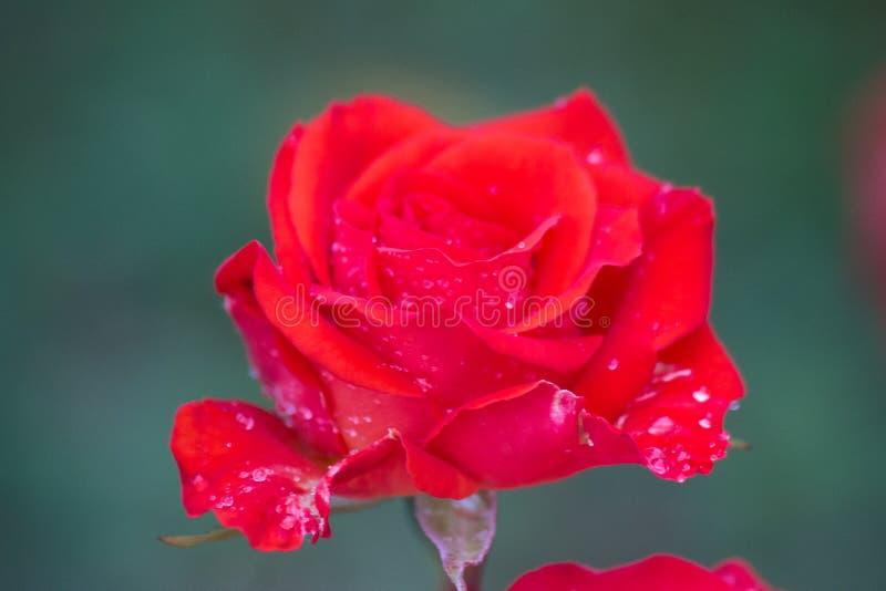 Flor do verão nos pingos de chuva fotos de stock