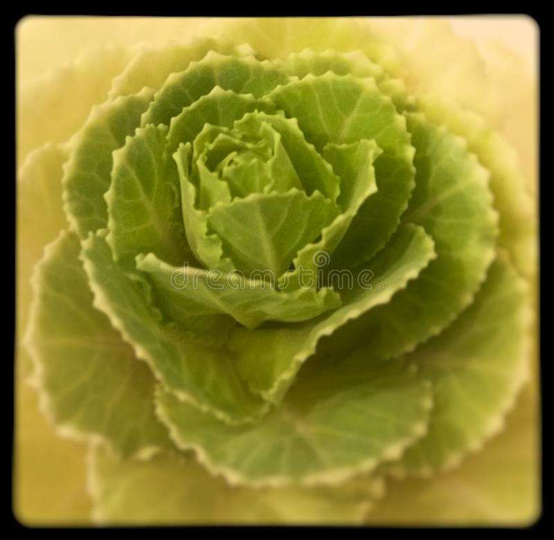 Flor do verde de Rosa da couve imagem de stock royalty free