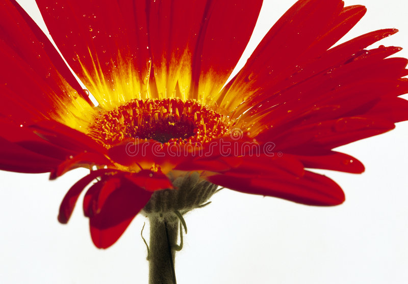 Flor do vermelho de Bloomin fotografia de stock royalty free