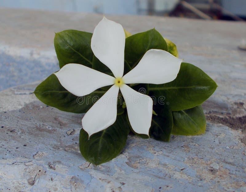 a flor do vince do grupo aumentou fotos de stock