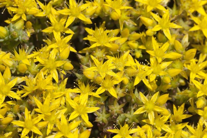 Flor do Wort de St John imagens de stock