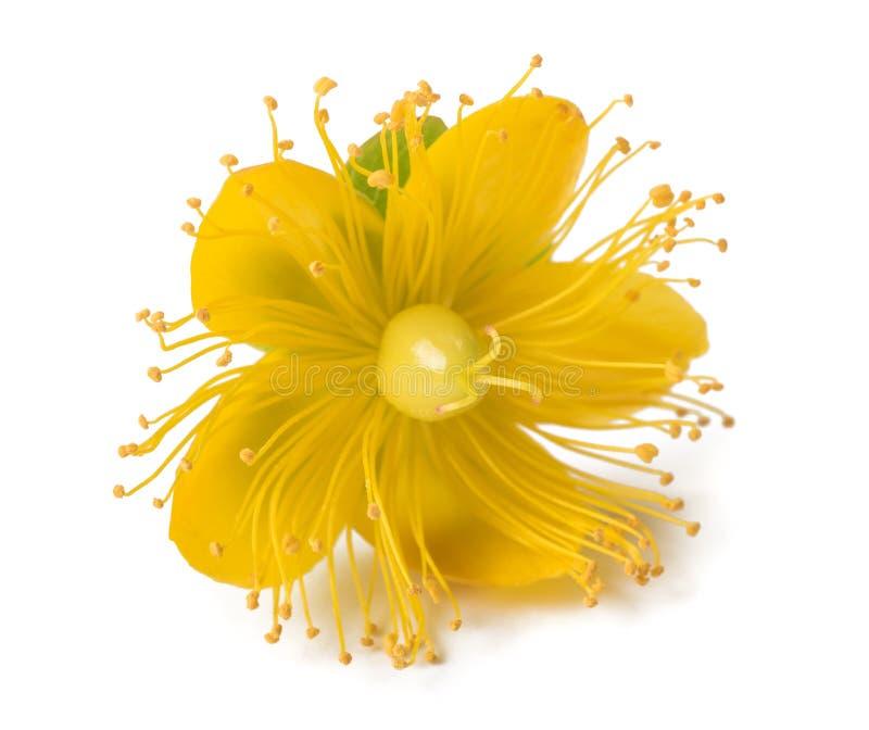 Flor do Wort de St John imagem de stock