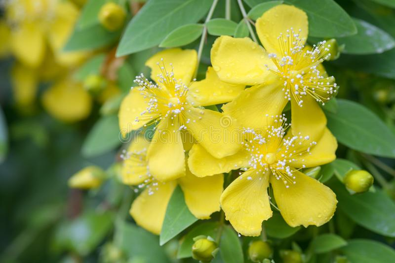 Flor do wort de St Johns fotos de stock