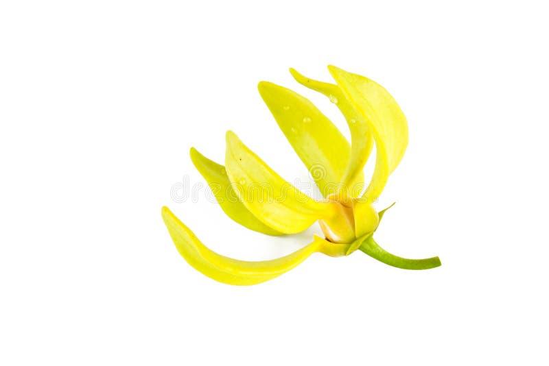 Flor do Ylang-Ylang fotos de stock royalty free